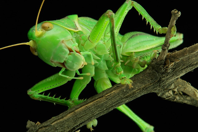 Chinese Bush Cricket (Gampsocleis gratiosa)