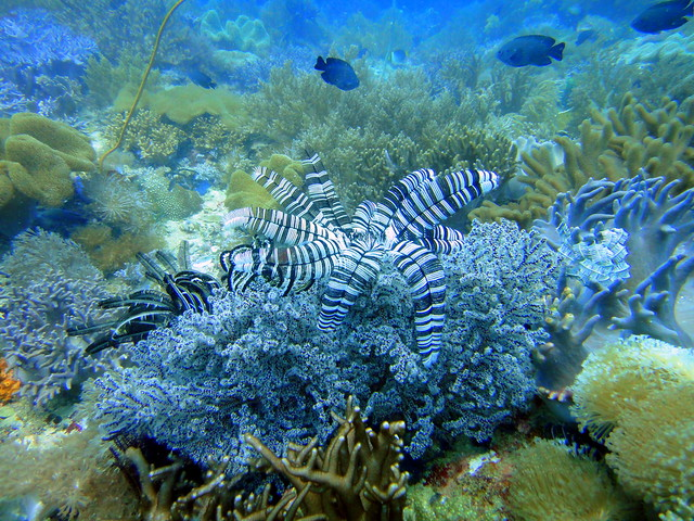 Soft corals on Quiliano Reef, Malapascua