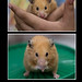 Small photo of Sirian Hamster