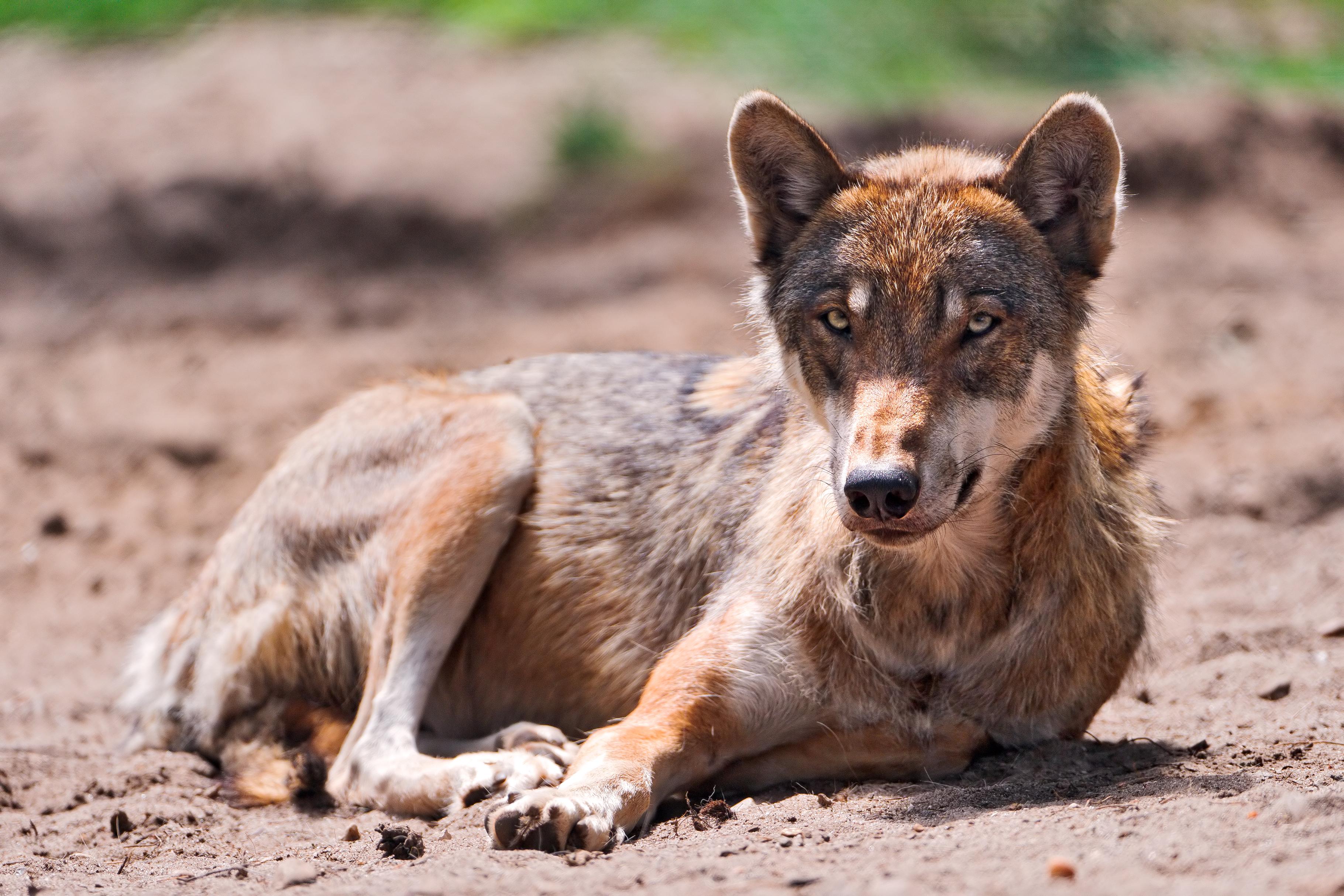 Wolf lying on back - photo#10