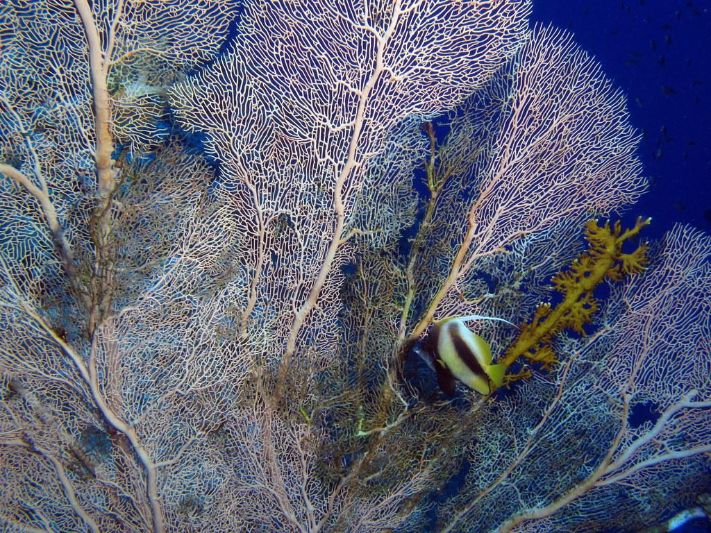 Gorgonia en el Mar Rojo