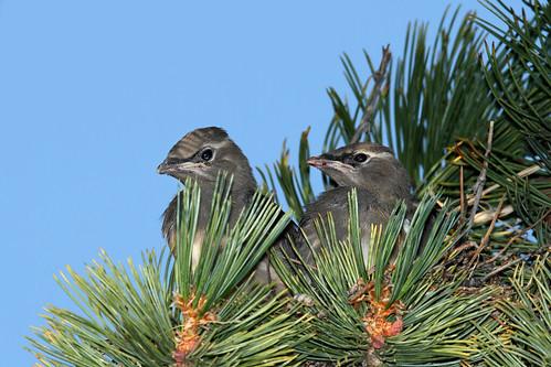 Young Cedar waxwings in nest....#2