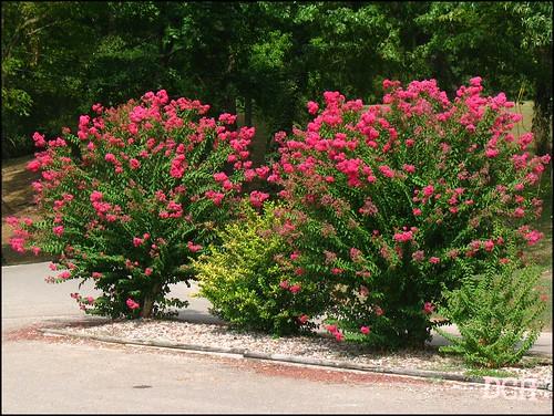 park pink summer usa plant flower landscaping tennessee flowering savannah philscamera crepemyrtle landscaped inbloom hardincounty waynejerroldsriversidepark