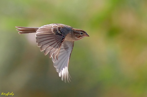 (North American Species # 460) A Brewer's Sparrow From Las Vegas