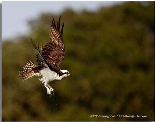 Osprey in flight, James Farm, DE