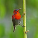 Crimson Sunbird ( Male ) ^^^