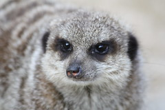 animal, mammal, fauna, lemur, close-up, meerkat, wildlife,