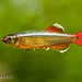White Cloud Mountain Minnow