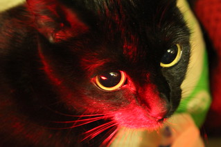 Red and black cat