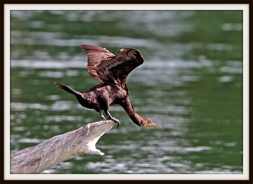 Taking Off Cormorant