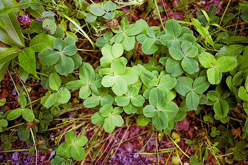 A treasury of multi-leaf clovers