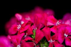 Sweet William Flowers. By Thomas Tolkien