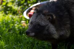 raccoon(0.0), virginia opossum(0.0), wildlife(0.0), animal(1.0), marsupial(1.0), mammal(1.0), fauna(1.0), viverridae(1.0), procyonidae(1.0),