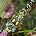 Small photo of Blue Hawker. Aeshna cyanea