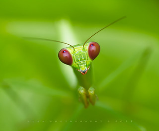 Mantodea [ Praying Mantis ]