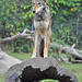 Small photo of Red Wolf (Canis rufus)