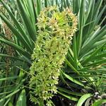 Foto: Ananasplant