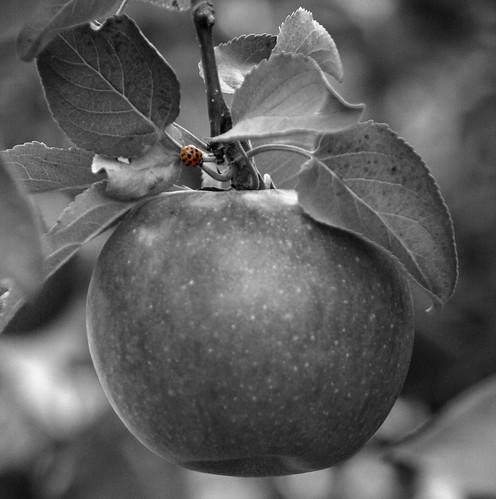 blackandwhite apple ladybug