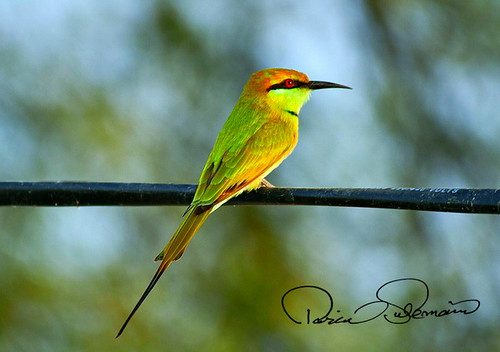 Bee Eater. EXPLORED Oct 3, 2011 #78Flat