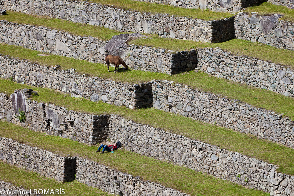 Machu Picchu, Peru, grazing and napping by the walls