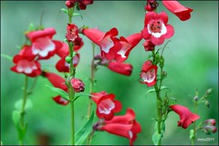 penstemon by M. Martin Vicente