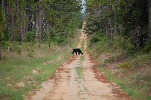 bear usa forest nikon unitedstates florida nationalforest usaf blackbear bär schwarzbär forestservice d40 americanblackbear eglinafb floridablackbear choctawhatchee okaloosacounty fisherbray eglinrangecomplex ursusamericanusfloridanus