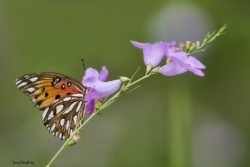 Supper time with a gulf fritillary...  :-)