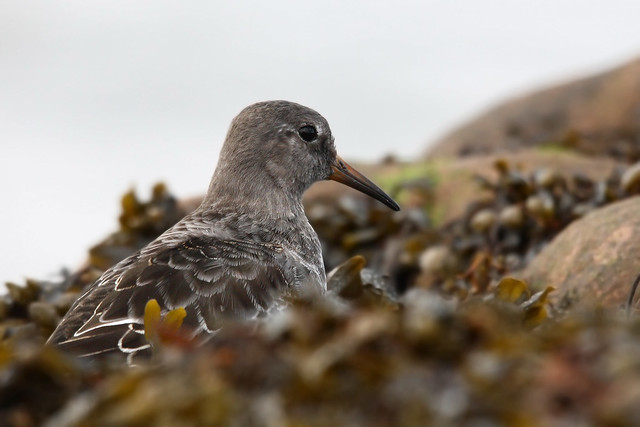 Purple Sandpiper- Creature of Kelp
