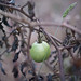 Green Tomato on a Withered Vine