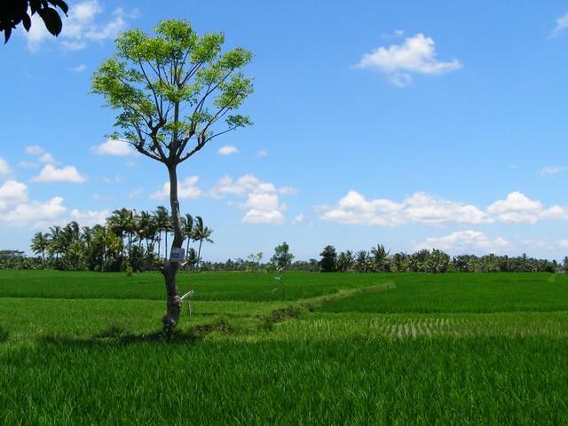 乌布的稻田