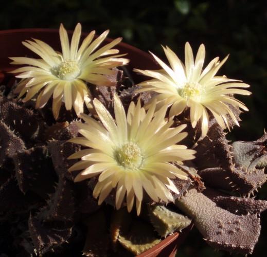 Aloinopsis setifera 6184159944_70fac7b4e7_o