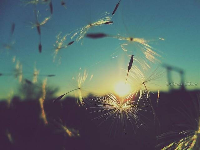 dandelion sunset related keywords - photo #31