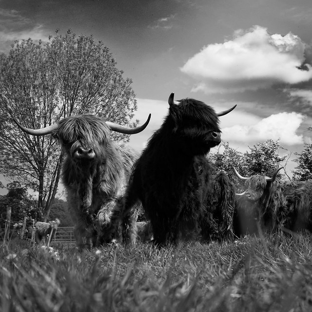 dance with highland bulls - Explore Highest position: 4 on Thursday, October 13, 2011