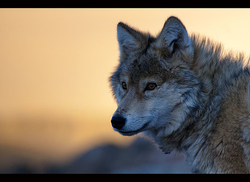wild wolf (canis lupis) in the Altai Region of Bayan-Ölgii in Western Mongolia by jitenshaman