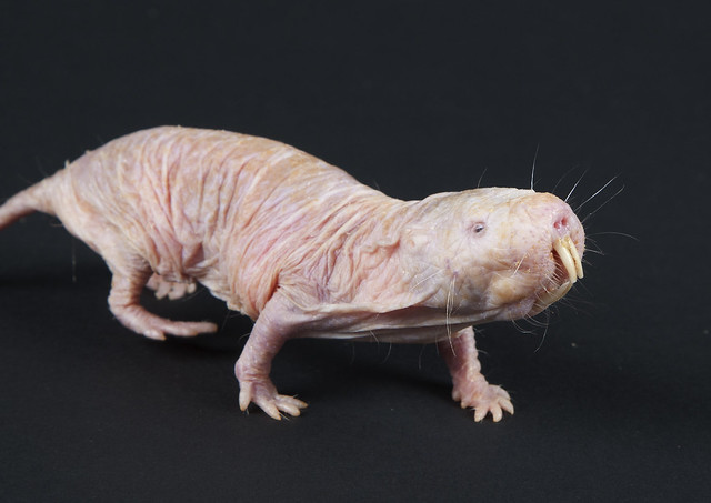 Naked Mole-Rat 20th Anniversary at the Smithsonian's National Zoo