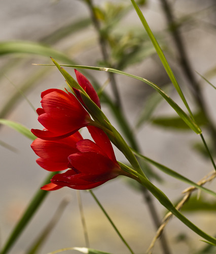 Light red blooms - Copyright R.Weal 2011