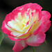 Double Delight Rose by Sandeep Santra(no more job search...searching mone