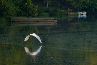 egret in flight over lake