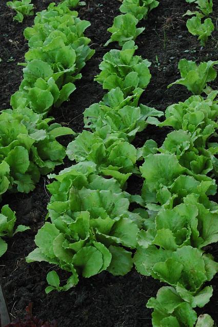 Loose leaf lettuceLoose Leaf Lettuce