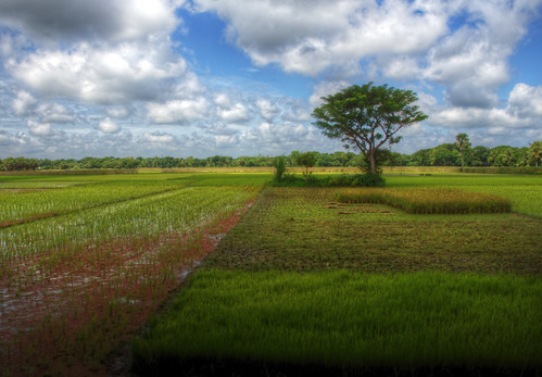 6149478334 5c820e4f16 rice fields comilla bangladesh