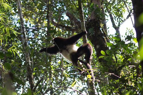 Propithecus lemur
