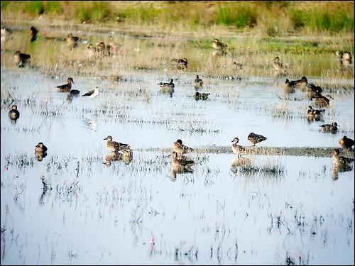 會在茄萣濕地度冬的,還候鳥包括小水鴨、白眉鴨、琵嘴鴨和尖尾鴨等;攝影:鄭和泰