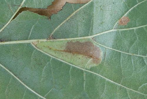 Phyllonorycter rajella underside