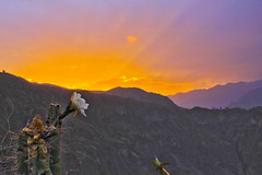 Cactus Flower and a Colca Canyon Sunset
