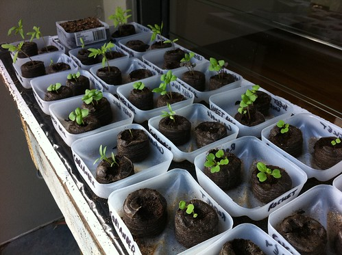 Vegetable Seedlings in Jiffy Pots.
