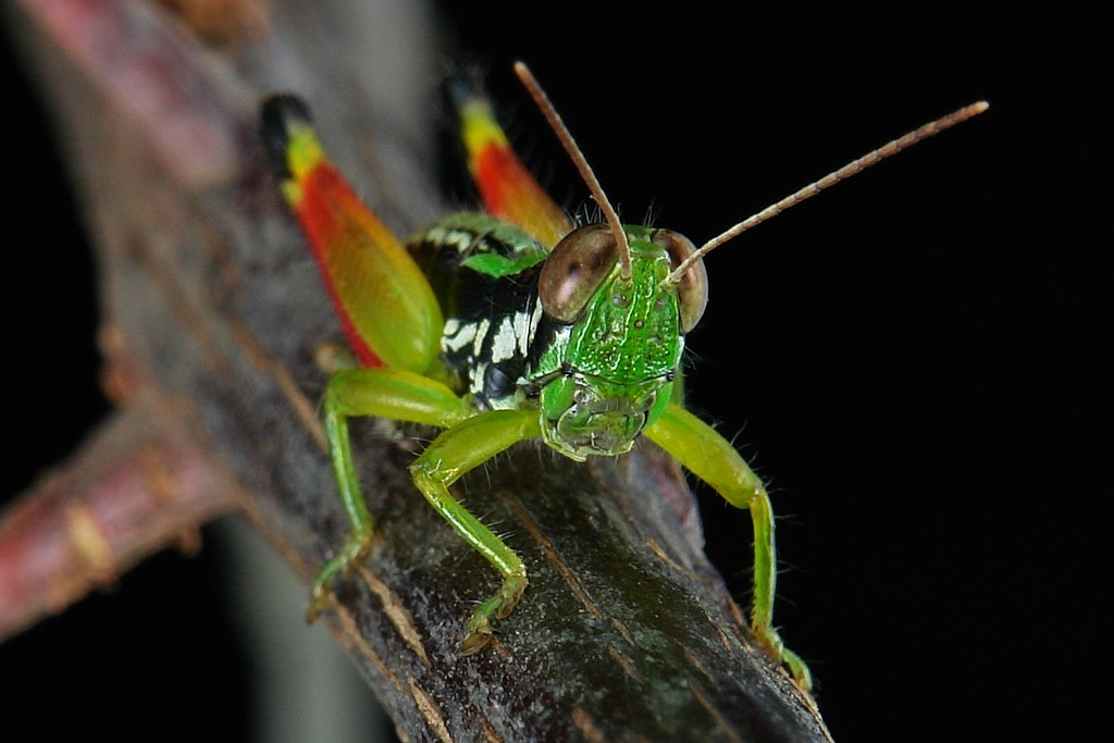 Grasshopper (Acrididae)