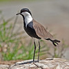 Spur-winged Lapwing by MAC-Kenya