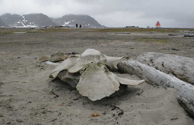Bowhead whale skull