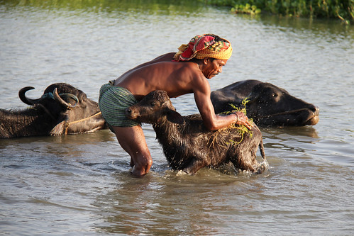 Bathing the buffalo