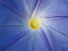Morning glory, close up